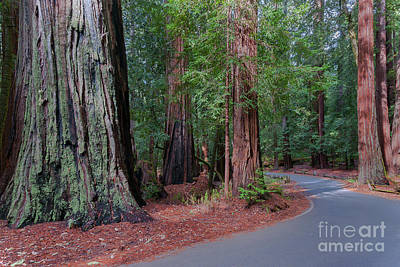 Big Basin Redwoods Poster