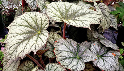 Big Begonia Leaves Poster by Nareeta Martin