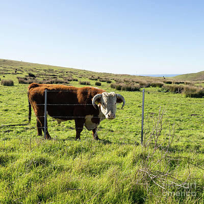 Poster featuring the photograph Big Bull At Point Reyes National Seashore California Dsc4884-sq by Wingsdomain Art and Photography