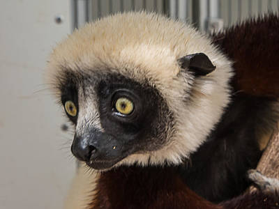 A Very Curious Sifaka Poster