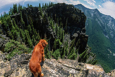 Big Golden Retriever Looking Over The Edge Of A Mountainous Wild Poster