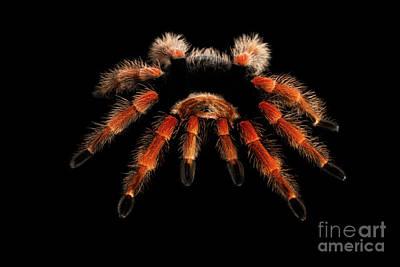 Big Hairy Tarantula Theraphosidae Isolated On Black Background Poster
