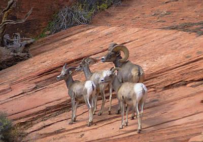 Big Horn Sheep, Zion National Park Poster