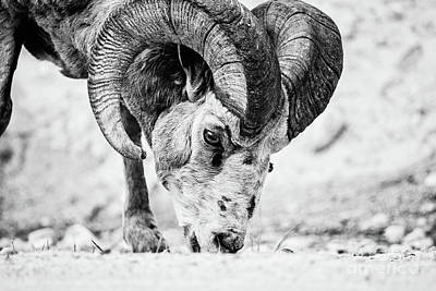 Big Horn Using A Mineral Lick Bw Poster