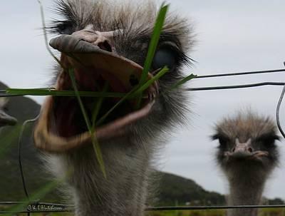 Big Mouth Ostrich Poster by Lj White