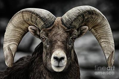 Bighorn Ram Poster