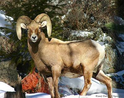 Bighorn Ram Poster by Perspective Imagery