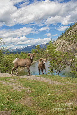 Bighorn Sheep In The Rocky Mountains Poster by Patricia Hofmeester