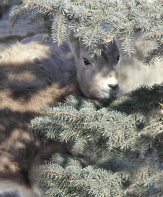 Poster featuring the photograph Bighorn Sheep Lamb's Hiding Place by Jennie Marie Schell