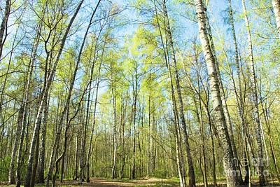 Birch Forest Spring Poster
