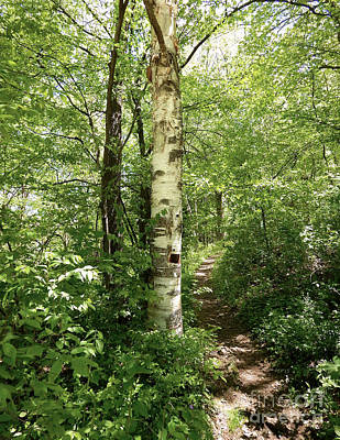 Birch Tree Hiking Trail Poster by Phil Perkins