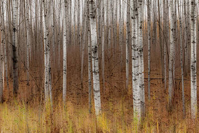 Birch Trees Abstract #2 Poster by Patti Deters
