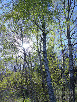 Birch Trees In Spring Poster by Phil Banks