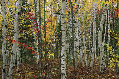 Birch Trees With Autumn Foliage Poster by Medford Taylor