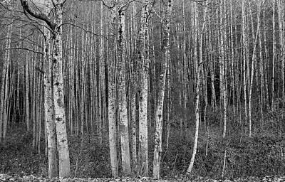 Birch Tress Poster