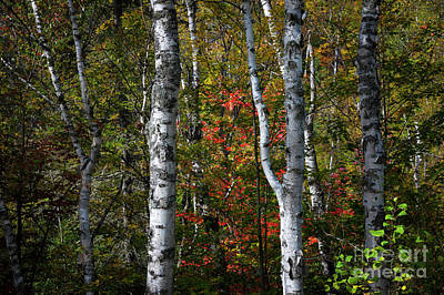 Poster featuring the photograph Birches by Elena Elisseeva
