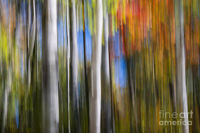 Birches In Autumn Forest Poster by Elena Elisseeva