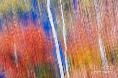 Birches In Red Forest Poster