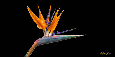 Bird Of Paradise Flower On Black Poster