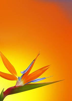Bird Of Paradise Orange Poster by Mark Rogan