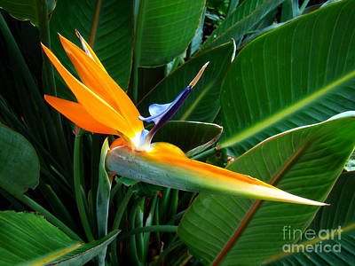 Poster featuring the photograph Bird Of Paradise by Sue Melvin
