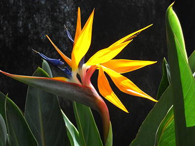 Poster featuring the photograph Bird Of Paradise by Yolanda Koh