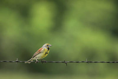 Poster featuring the photograph Bird On Barbed Wire by Scott Bean