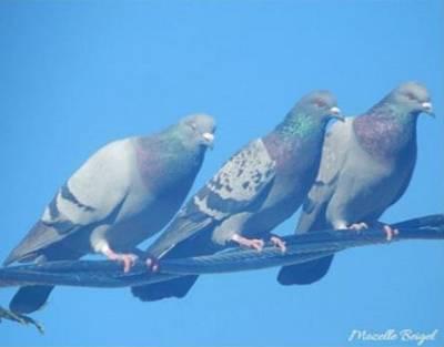 Bird Trio Poster