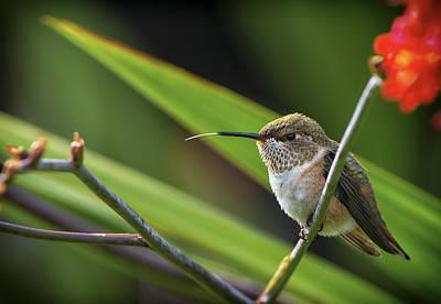 Birds Of Bc - No. 31 - Rufous Hummingbird - Selasphorus Rufus Poster by Paul W Sharpe Aka Wizard of Wonders