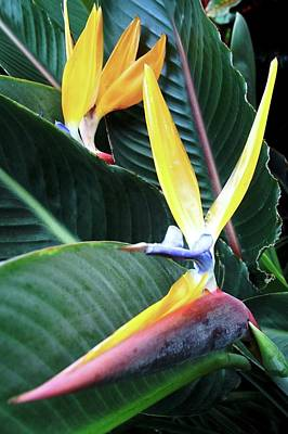 Birds Of Paradise With Leaves Poster