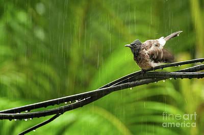 Birds Of Sri Lanka  Pycnonotus Cafer Poster