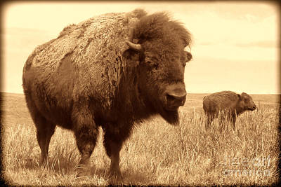 Bison And Calf Poster by American West Legend By Olivier Le Queinec
