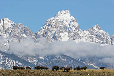 Bison In The Tetons Poster