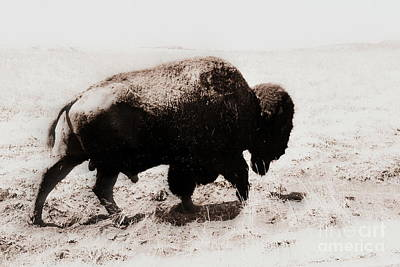 Bison On The Trail Poster by Mickey Harkins