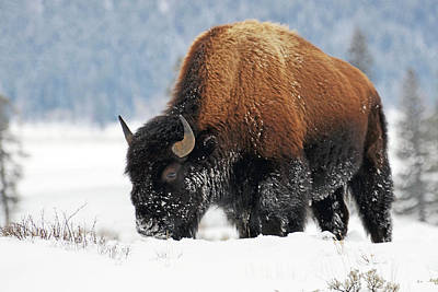 Bison Roaming In The Lamar Valley Poster