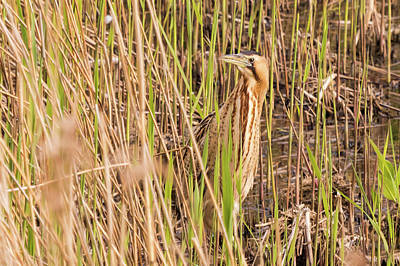 Bittern In The Reeds Poster
