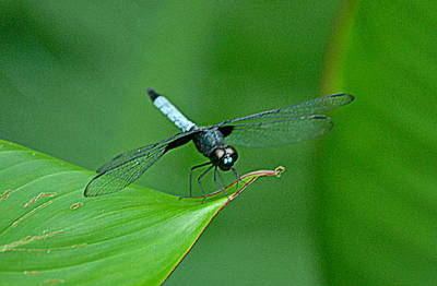 Black And Blue Dragonfly Poster by HQ Photo