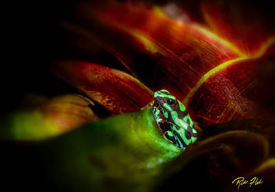Poster featuring the photograph Black And Green Dart Frog In The Red Bromeliad by Rikk Flohr