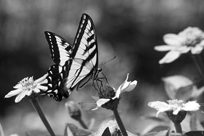 Black And White Butterfly On Flower Poster