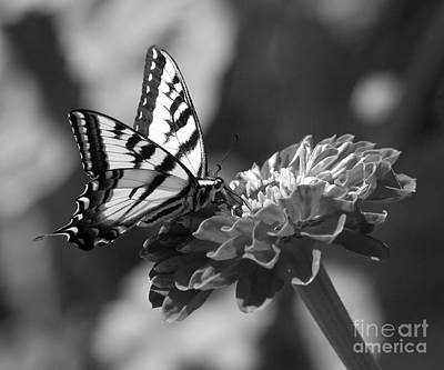 Black And White Butterfly On Zinnia Poster by Jim and Emily Bush