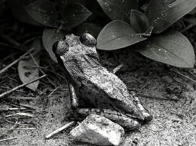 Black And White Cuban Tree Frog 000 Poster by Chris Mercer