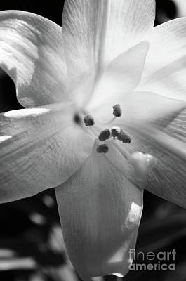 Black And White Easter Lily Poster