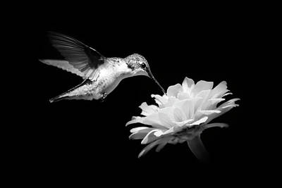 Poster featuring the photograph Black And White Hummingbird And Flower by Christina Rollo
