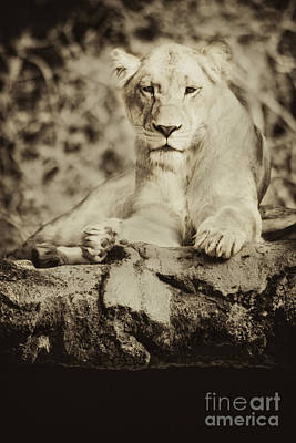 Black And White Lioness Poster by Stephanie Hayes