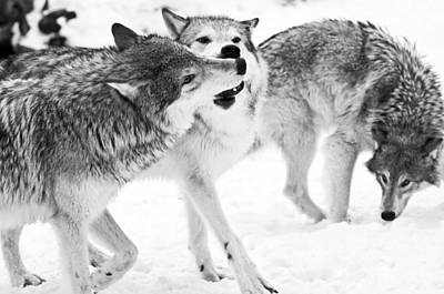 Black And White Of Three Wolves At Play Poster