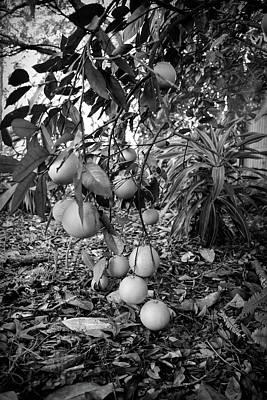 Black And White Orange Tree Poster