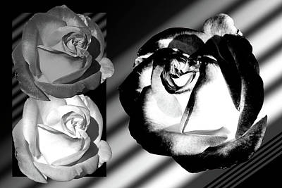 Black And White Roses Poster by Phyllis Denton