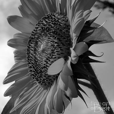 Black And White Sunflower No.29 Poster