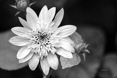 Poster featuring the photograph Black And White Sunrise Coreopsis by Christina Rollo