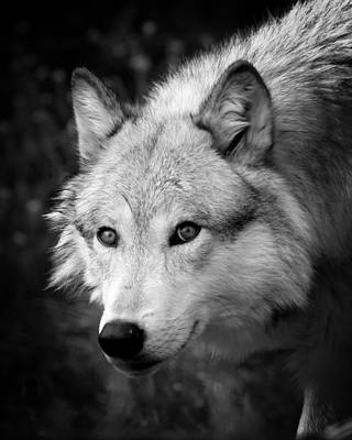 Black And White Wolf Poster by Steve McKinzie